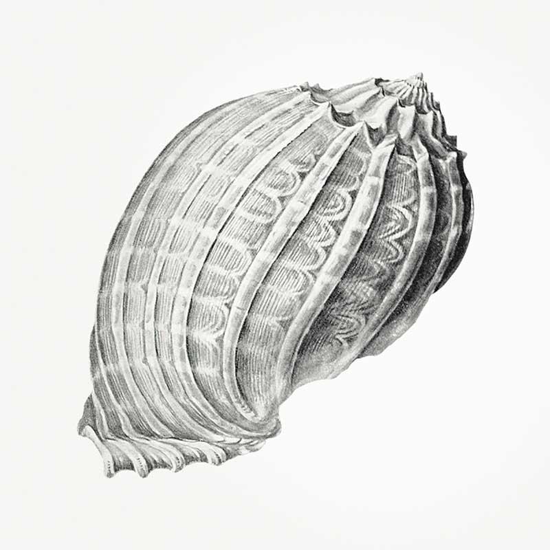 Conchas Marinas V