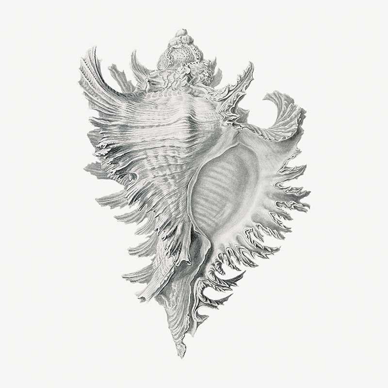 Conchas Marinas VI
