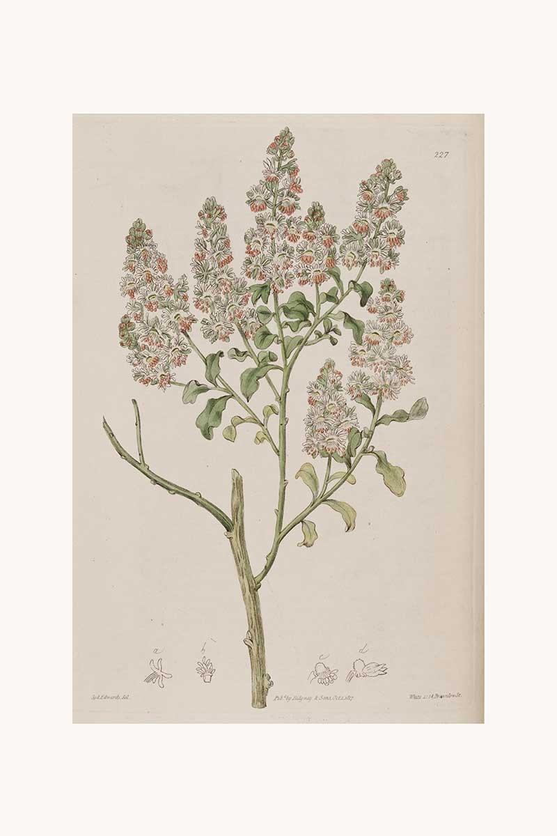 Edwards Botanical IV