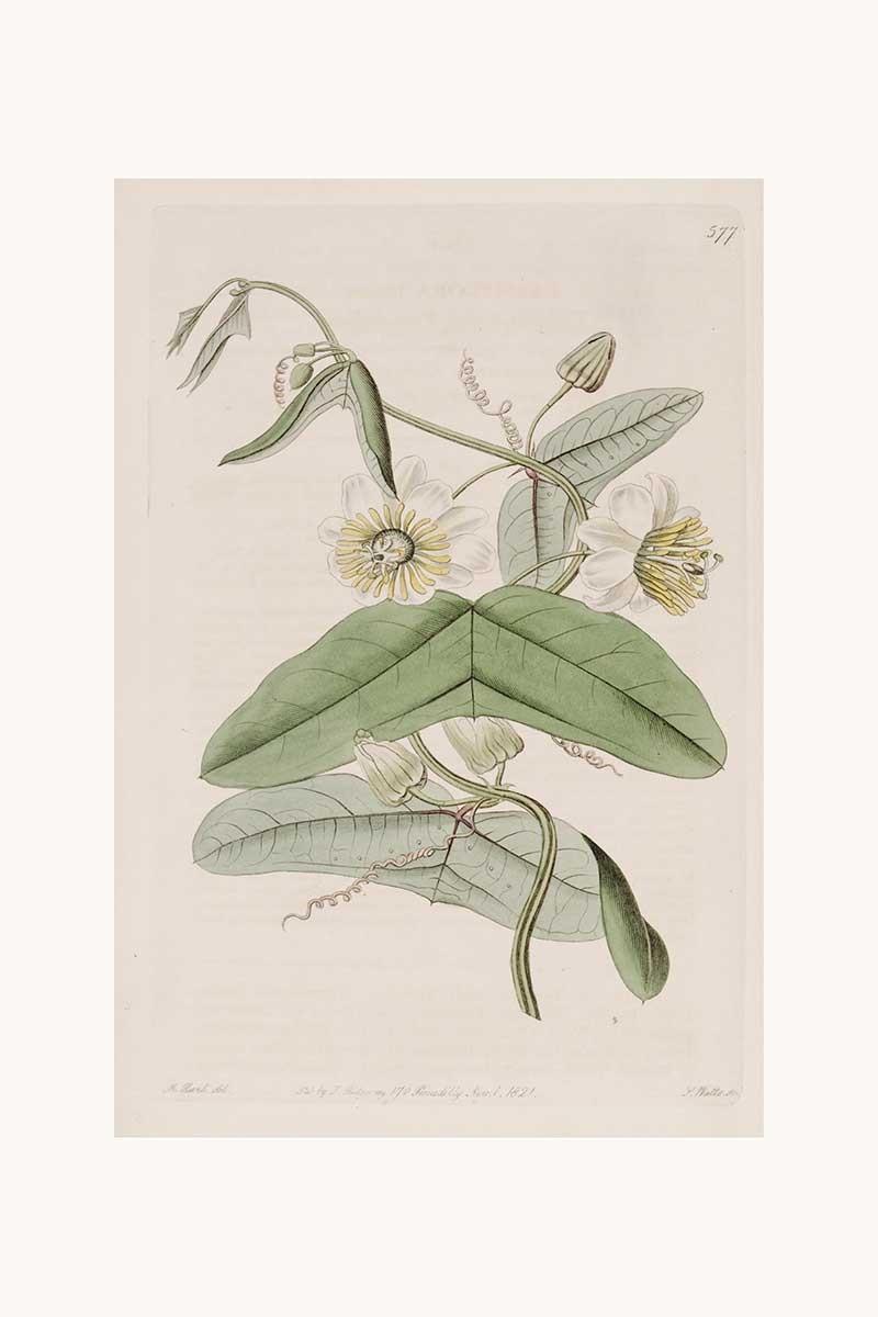 Edwards Botanical VII