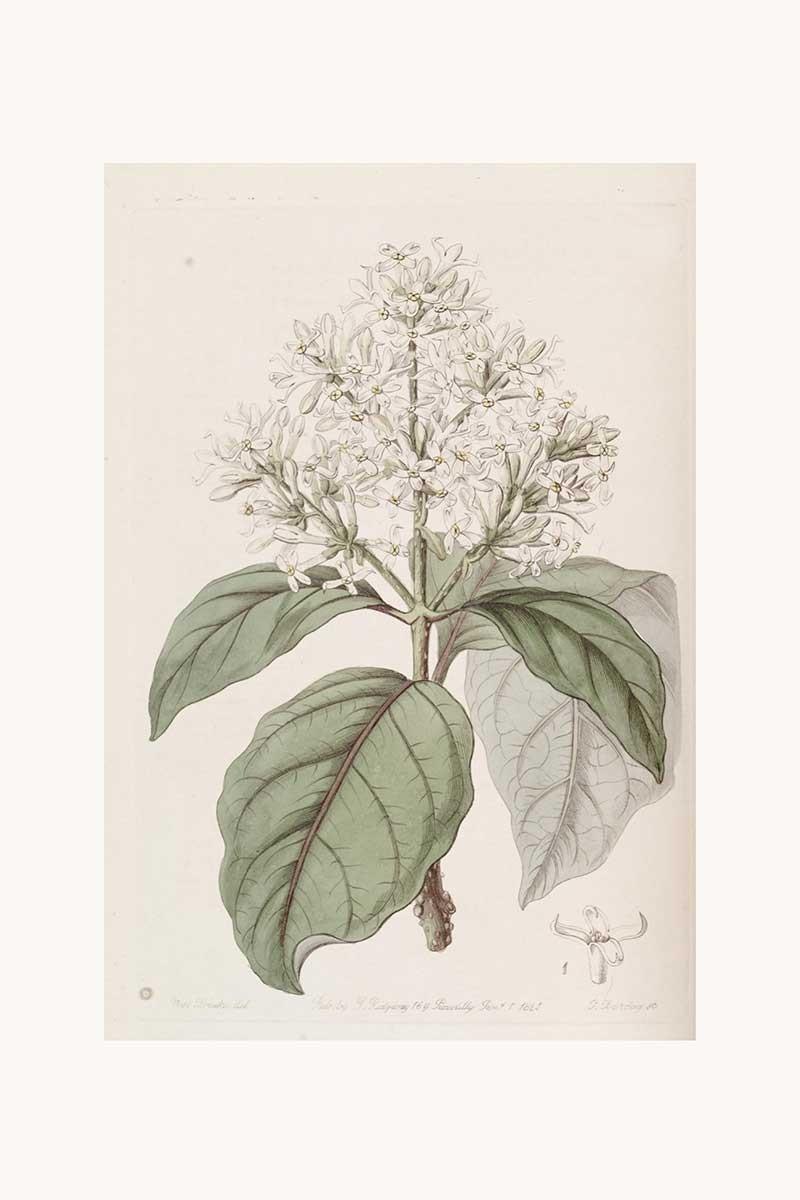 Edwards Botanical VIII