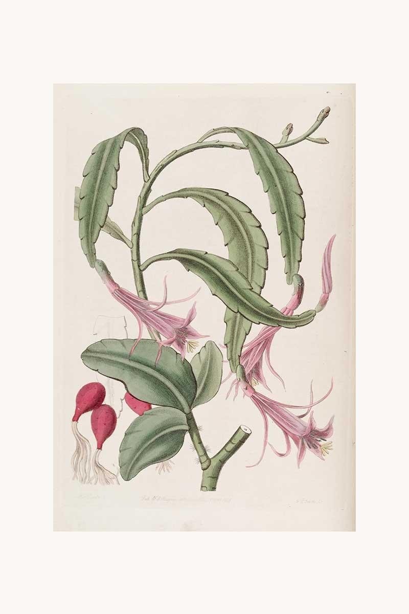 Edwards Botanical IX