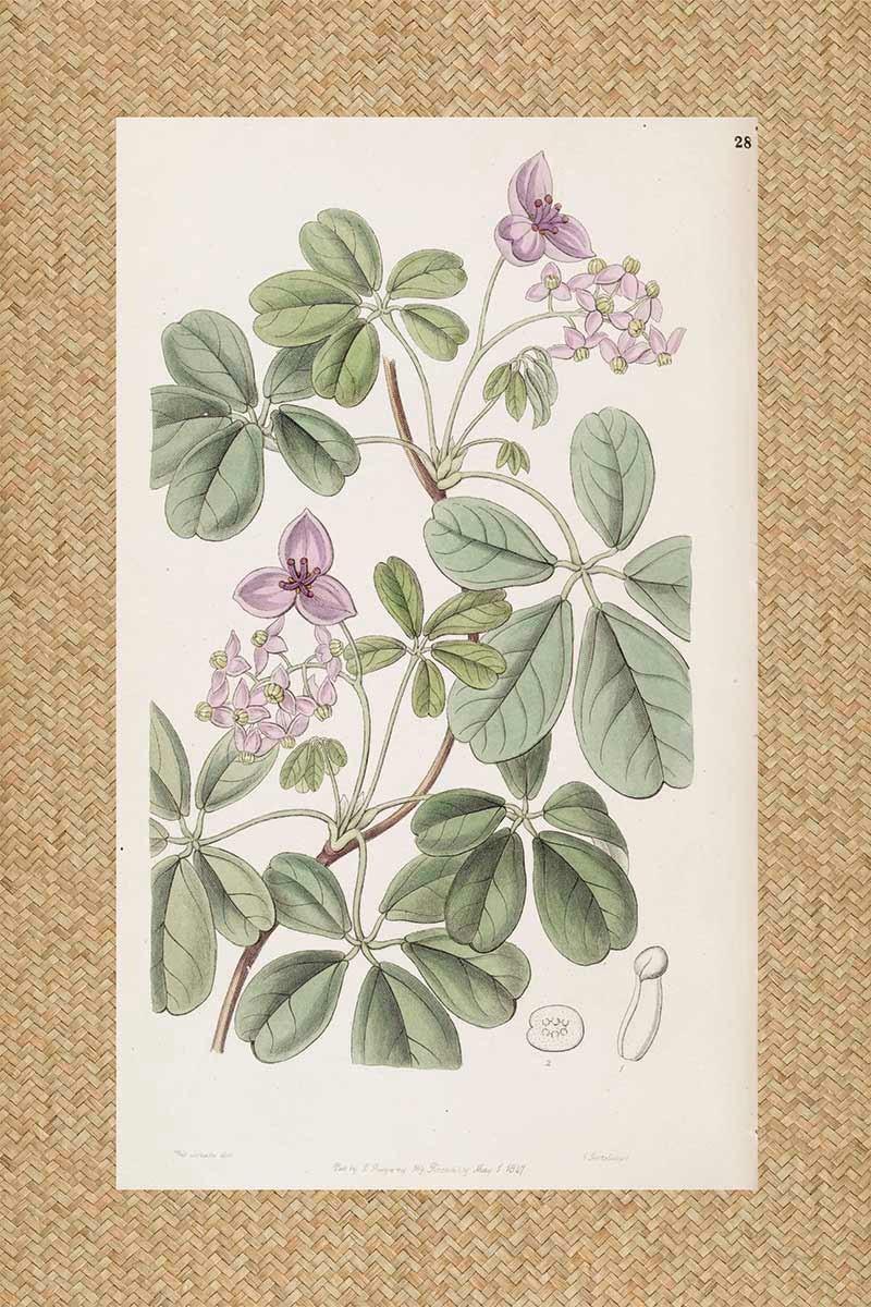 Flores Ratan Malva I