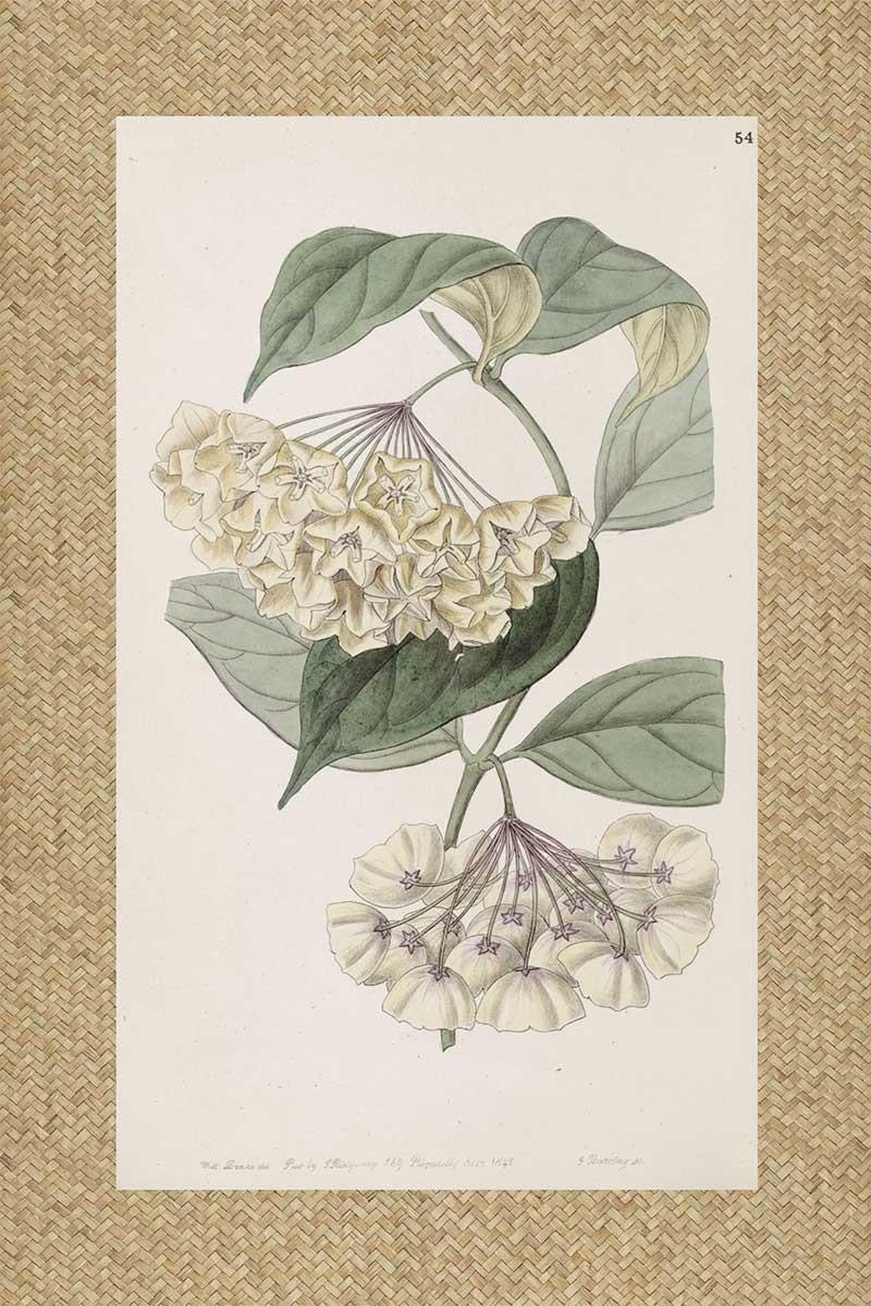 Flores Ratan Blanca I