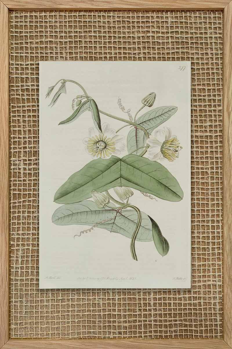Eduards Botanical VII